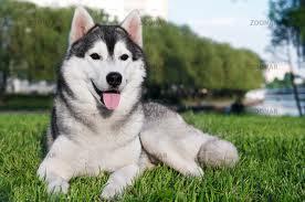 husky_dog