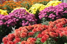 xrysanthema